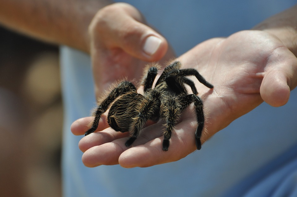 A tarantula on its owner's hand - not among the legal exotic pets in NYC.