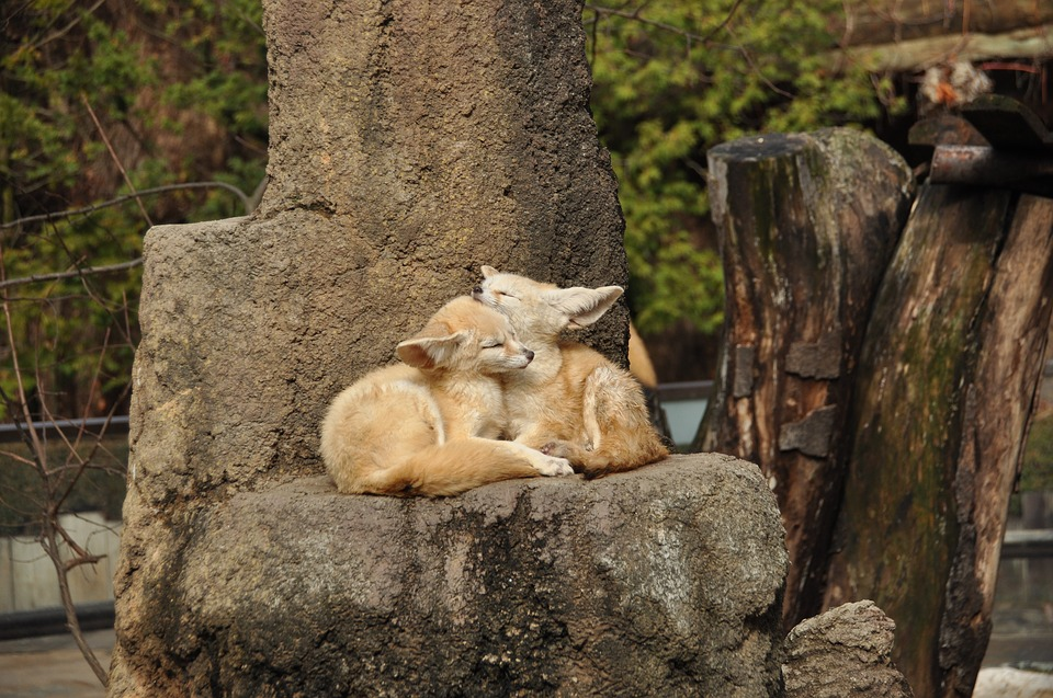 Two fennec foxes hugging - ready to become a pet in New York.