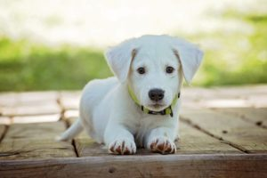 A white puppy families choose to leave NYC for